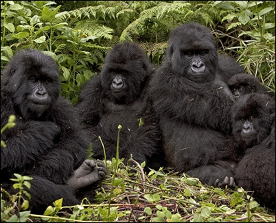 Image result for gorilla and its habitat